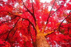 Mount Olivet Red Maple Tree